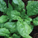 0655-america-spinach